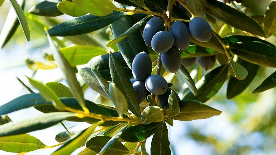 Czarne oliwki w ofercie Harika